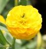 Picture of Ranunculus acris 'Flore Pleno'