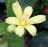 Picture of Tricyrtis ohsumiensis