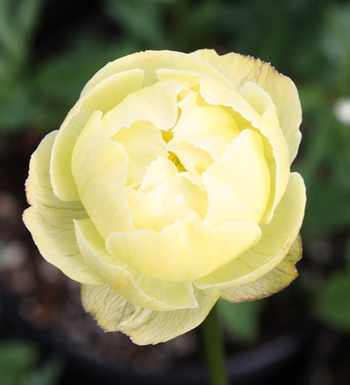 Picture of Trollius 'Alabaster'