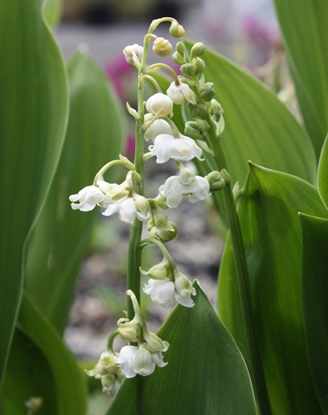 Picture of Convallaria majalis 'Prolificans'