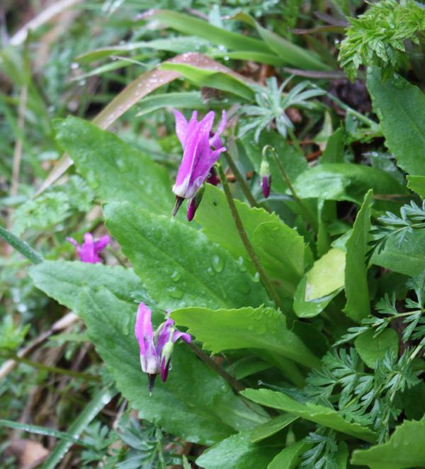 Growing wild on Saddle Mountain, OR