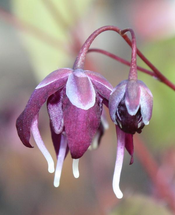 Picture of Epimedium grandiflorum 'Dark Side'