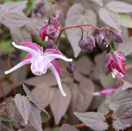 Picture of Epimedium grandiflorum 'Queen Esta'