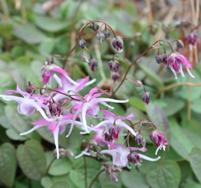 Picture of Epimedium grandiflorum 'Tama-No-Genpei'