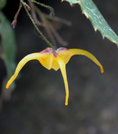 Picture of Epimedium membranaceum