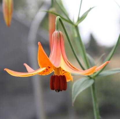 Picture of Lilium canadense BR