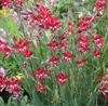 Picture of Gladiolus cardinalis Hybrid