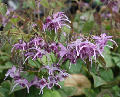 Picture of Epimedium 'Lilac Cascade'
