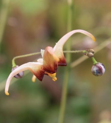 Picture of Epimedium 'Caramel'