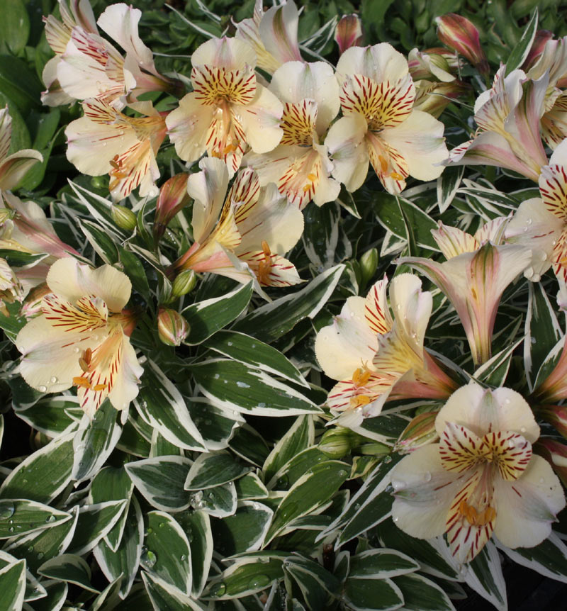 Picture of Alstroemeria 'Princess Fabiana'