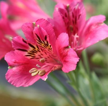 Picture of Alstroemeria 'Patricia Lynn'
