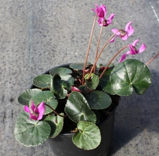 Picture of Cyclamen purpurascens plain green leaf