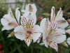 Picture of Alstroemeria 'Casablanca'