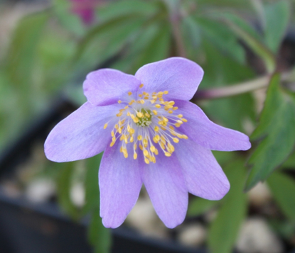 Picture of Anemone nemorosa 'Ginny'