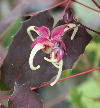 Picture of Epimedium 'Flame Thrower'