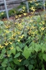 Picture of Epimedium 'Windfire'