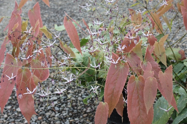 Picture of Epimedium fargesii