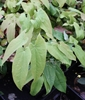 Picture of Epimedium sagittatum