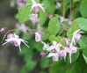 Picture of Epimedium x youngianum 'Jenny Wren'