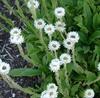 Picture of Helichrysum bellum