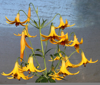Picture of Lilium canadense yellow BR