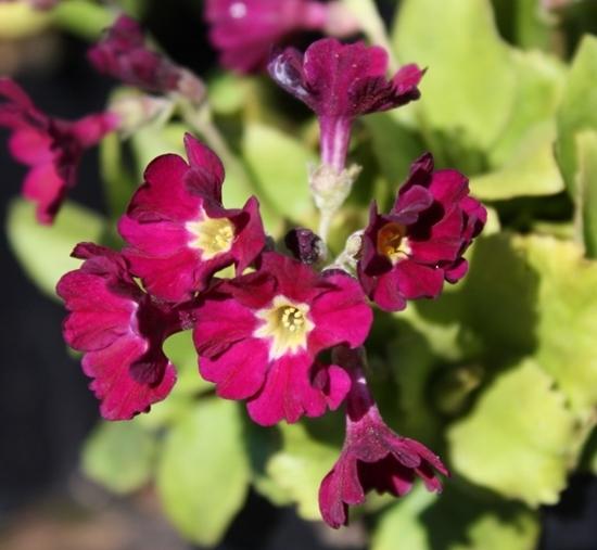 Picture of Primula pubescens 'Christine'