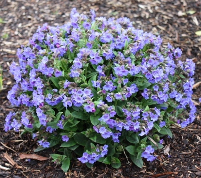 Picture of Pulmonaria 'Blue Bun'