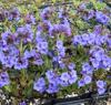Picture of Pulmonaria 'Blue Bun'