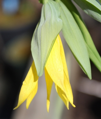 Picture of Uvularia grandiflora