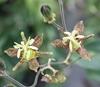 Picture of Tricyrtis latifolia ex. Sichuan 1735