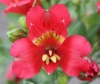 Picture of Alstroemeria Premier Cranberry