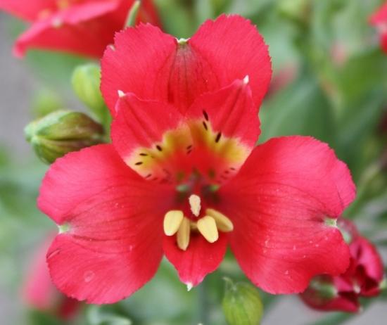 Picture of Alstroemeria Premier Cranberry