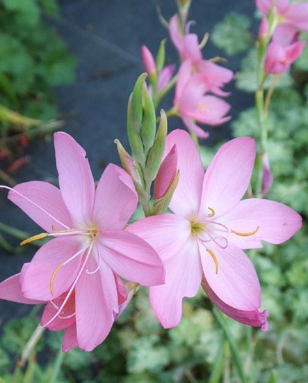 Picture of Schizostylis coccinea 'Red Prairie Rose'