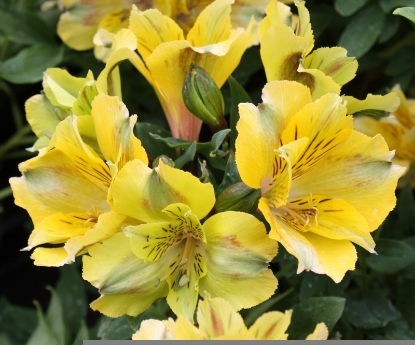 Picture of Alstroemeria 'Princess Felicia'