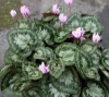 Picture of Cyclamen graecum