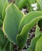 Picture of Convallaria majalis 'Hardwick Hall'