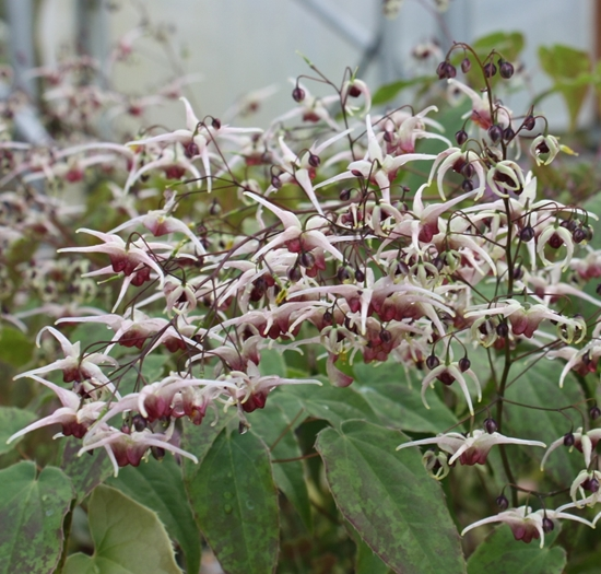 Picture of Epimedium 'Domino'