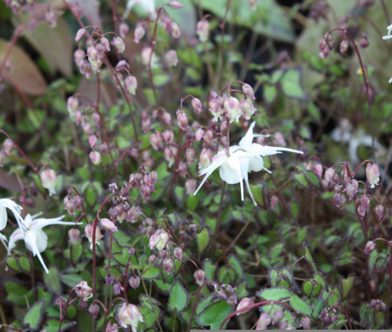 Picture of Epimedium grandiflorum var. higoense 'Bandit'