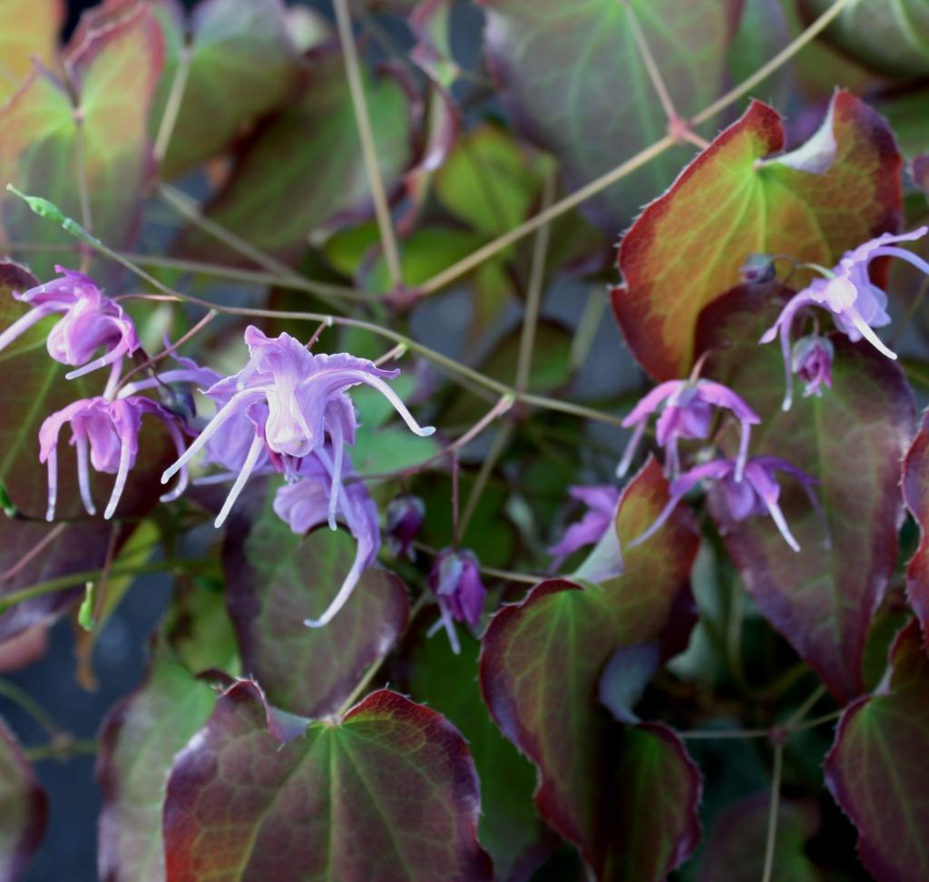Picture of Epimedium sempervirens 'Shadow Dancer'