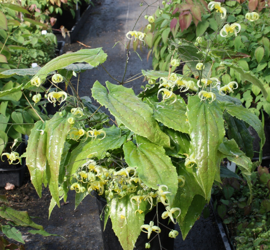 Picture of Epimedium sp. nov. 'Simple Beauty'