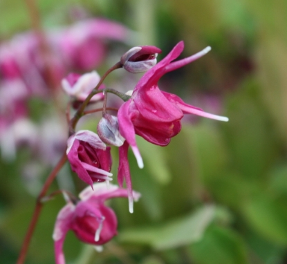 Picture of Epimedium x youngianum 'Ruby Tuesday'