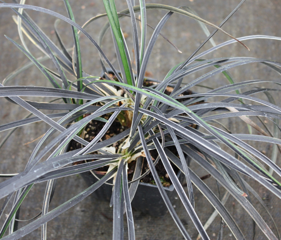 Picture of Ophiopogon planiscapus 'Edge of Night'
