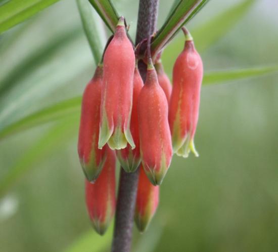 Picture of Polygonatum kingianum