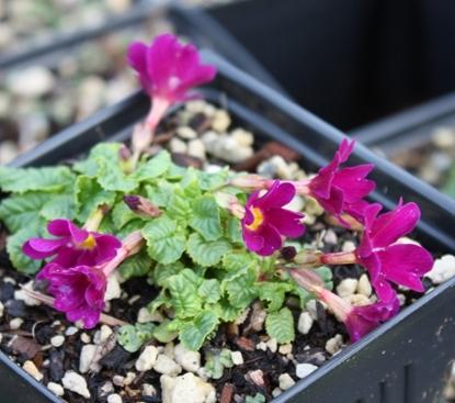 Picture of Primula juliae 'Sophie C'