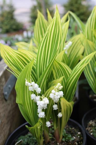 Picture of Convallaria majalis 'Potsdam Stripe'