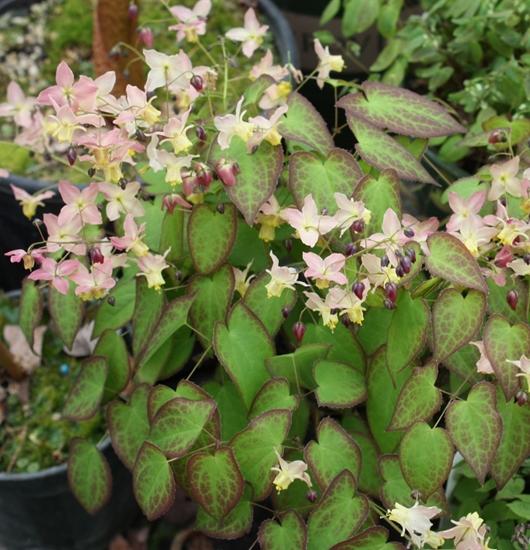 Picture of Epimedium x versicolor 'Versicolor'