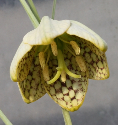 Picture of Fritillaria thunbergii BR