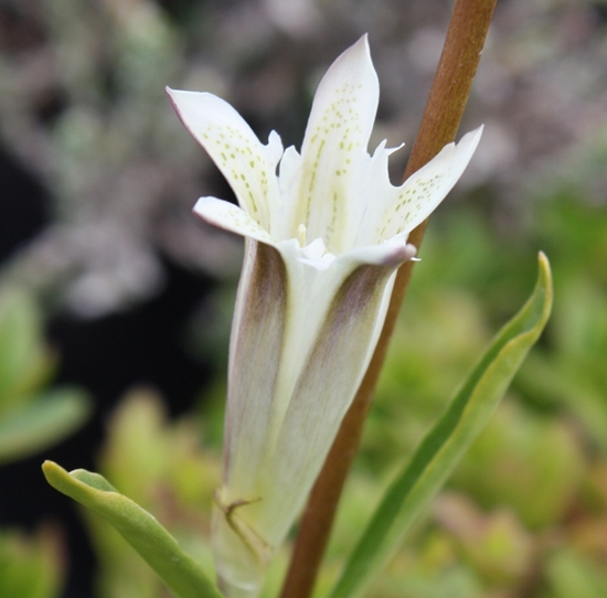 Picture of Gentiana purdomii