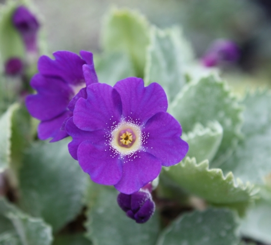 Picture of Primula marginata 'Mauve Mist'