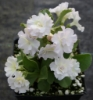 Picture of Primula auricula 'Balcolm's Petite'